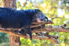 Binturong, Bearcat (Arctictis binturong) στο ζωολογικό κήπο Στοκ εικόνες με δικαίωμα ελεύθερης χρήσης