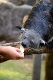 Binturong or Bearcat (Arctictis binturong) Stock Images