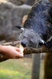 Binturong ή Bearcat (Arctictis binturong) Στοκ Εικόνες