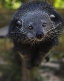 Binturong ή Bearcat (Arctictis binturong) Στοκ φωτογραφίες με δικαίωμα ελεύθερης χρήσης