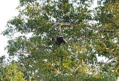 Binturong or Bearcat (Arctictis binturong) Royalty Free Stock Images
