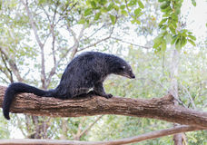 Binturong or bearcat Arctictis binturong sitting on the branch of tree Stock Images