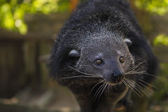 Binturong or bearcat (Arctictis binturong) Royalty Free Stock Image