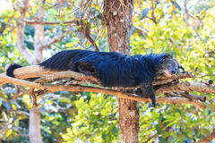 Binturong, Bearcat (Arctictis binturong) in the zoo Stock Images