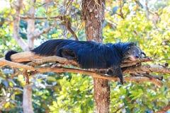 Binturong, Bearcat (Arctictis binturong) in the zoo Stock Images
