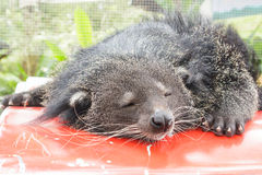 Binturong or Bearcat. Royalty Free Stock Photo