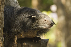 Binturong or Bearcat Royalty Free Stock Images