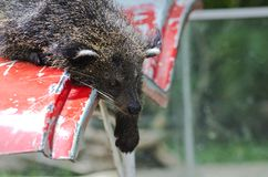 Binturong, Bearcat. Royalty Free Stock Photos