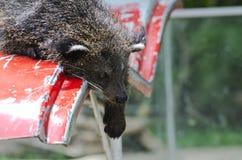 Binturong, Bearcat. Royalty Free Stock Photos