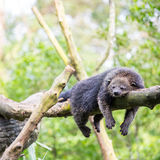 Binturong bearcat sleeping Royalty Free Stock Photos