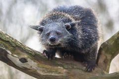 Binturong or bearcat on a tree Stock Image