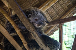 Binturong or Bearcat in wood cage on palawan el nido Royalty Free Stock Images