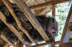 Binturong or Bearcat in wood cage on palawan el nido.  Stock Photography
