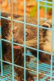 Binturong (binturong del Arctictis), anche conosciuto come il gatto orsino nero a Th Fotografia Stock Libera da Diritti