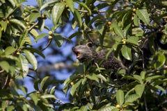 Binturong che mangia la frutta del fico fotografia stock