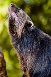 Binturong Closeup Royalty Free Stock Images