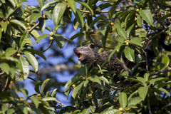 Binturong die fig.fruit eten Stock Fotografie