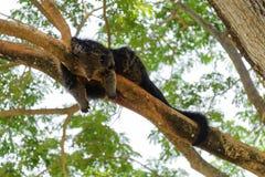 Binturong dormant sur la branche d'arbre Photographie stock
