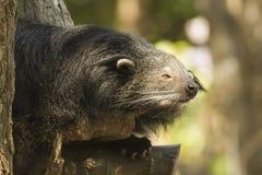 Binturong eller Bearcat Royaltyfria Bilder