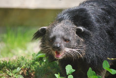 Binturong With His Mouth Open. A binturong with his mouth open and his teeth showing Royalty Free Stock Photography