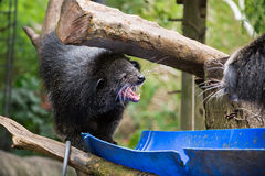 Binturong kot - niedźwiedź uśmiechający się szeroko, sprzeczka Fotografia Royalty Free