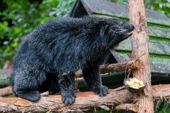 Binturong o gatto orsino nero del Arctictis un nativo del viverrid a Sud-est asiatico immagine stock libera da diritti