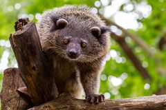 Binturong or philipino bearcat looking curiously from the tree, Royalty Free Stock Photos