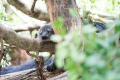Binturong-Schlaf auf Baum Stockbild