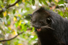 Binturong showing it's teeth Royalty Free Stock Photography