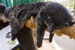 Binturong sleep on a tree Stock Photos