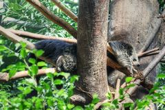 Binturong Royalty Free Stock Images