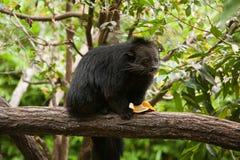 Binturong som matar på en banan Arkivbilder