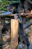 Binturongs playing Stock Photos