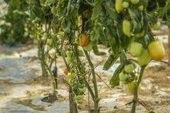 Bio élevage organique coloré de tomates Photos stock