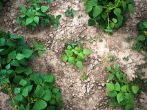 Bio- agricoltura con le giovani piante di fagiolo immagini stock libere da diritti