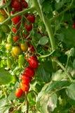 Bio- agricoltura in Italia, coltivazione dei pomodori ciliegia dolci nel gr Fotografia Stock