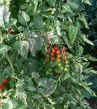 Bio- agricoltura in Italia, coltivazione dei pomodori ciliegia dolci nel gr Immagine Stock Libera da Diritti