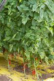 Bio- agricoltura in Italia, coltivazione dei pomodori ciliegia dolci nel gr Immagini Stock Libere da Diritti