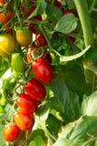 Bio- agricoltura in Italia, coltivazione dei pomodori ciliegia dolci nel gr Fotografia Stock Libera da Diritti
