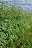 Bio- agricoltura in Italia, coltivazione dei pomodori ciliegia dolci nel gr Fotografie Stock