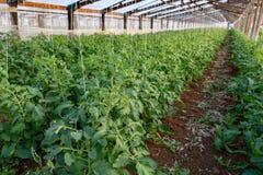Bio- agricoltura in Italia, coltivazione dei pomodori in serra, agr Fotografie Stock Libere da Diritti