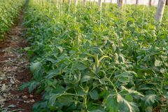 Bio- agricoltura in Italia, coltivazione dei pomodori in serra, agr Fotografia Stock