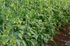 Bio- agricoltura in Italia, coltivazione dei pomodori in serra, agr Immagini Stock Libere da Diritti