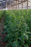Bio- agricoltura in Italia, coltivazione dei pomodori in serra, agr Fotografia Stock Libera da Diritti