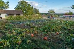 Bio- agricoltura organica in Francia, zucche nel campo fotografia stock