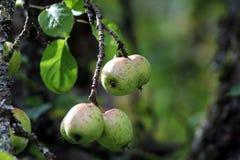 Bio appelen Stock Foto