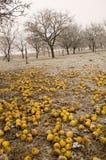 Bio apples Stock Photos