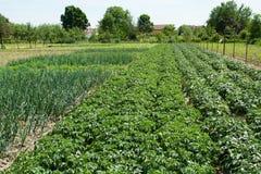 Bio- campo di agricoltura delle verdure Immagini Stock