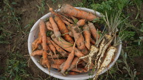 Bio carottes fraîches dans un seau Image stock