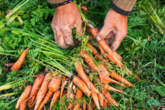 Bio carrots Stock Images